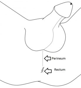 Diagram of male perineum. Rub here for external prostate stimulation.